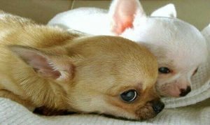 Read more about the article วิธีการเลี้ยง สุนัขชิวาวา ที่สามารถเลี้ยงในคอนโดได้