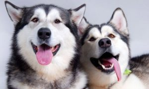 Read more about the article สุนัขที่นิสัยสวนทางกับหน้าตา ไซบีเรียนฮัสกี้